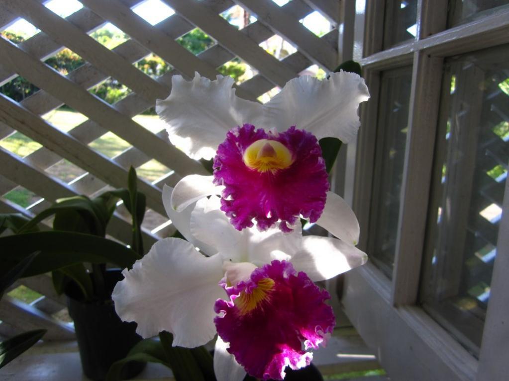 Lc. Jamaica Souvenir 'Elizabeth' x Lc. Mildred Rives 'Orchidglade' AM/AOS-img_0075-copy-jpg