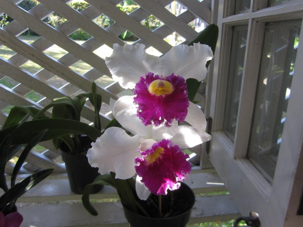 Lc. Jamaica Souvenir 'Elizabeth' x Lc. Mildred Rives 'Orchidglade' AM/AOS-img_0076-copy-jpg