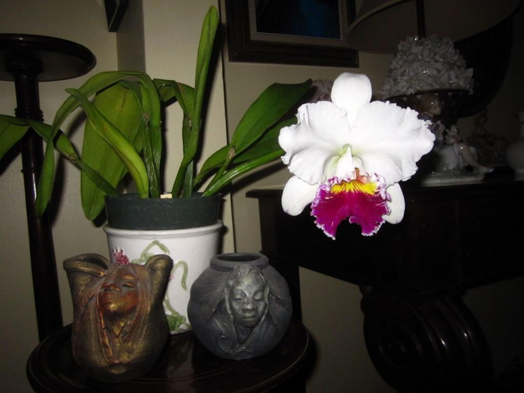 Lc. Jamaica Souvenir 'Elizabeth' x Lc. Mildred Rives 'Orchidglade' AM/AOS-img_0139-copy-jpg