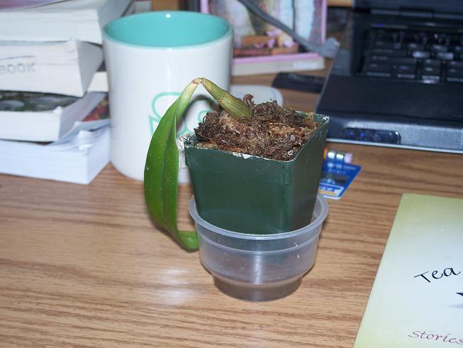orchid losing leaves-100_0981-jpg