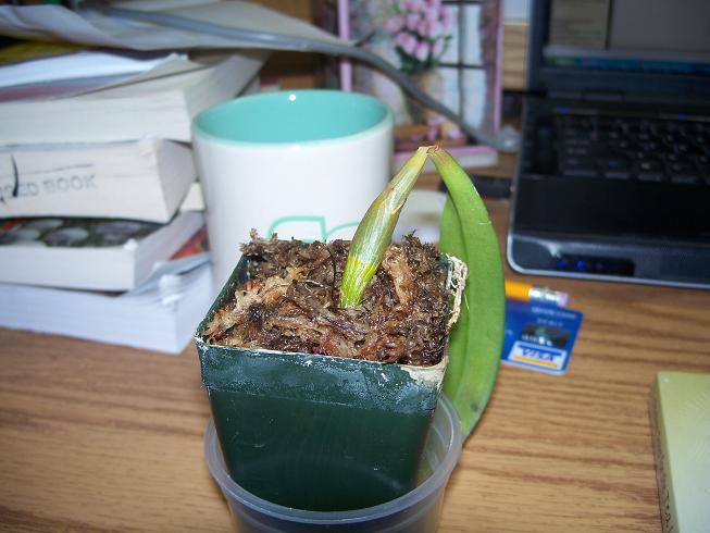 orchid losing leaves-100_0988-jpg