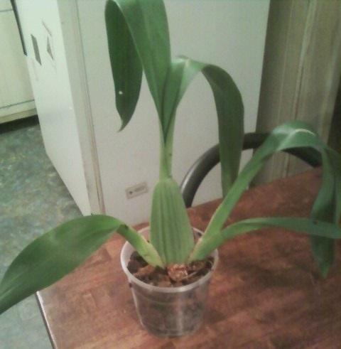 I divided my Oncidium I got yesterday.-orchid-7-1-jpg