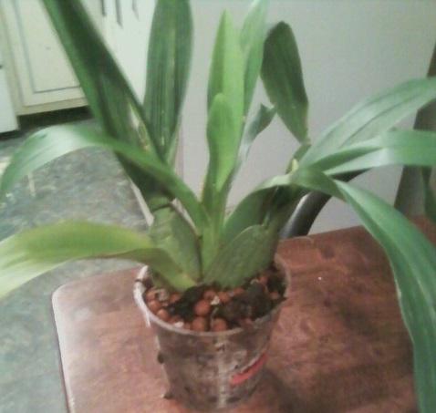 I divided my Oncidium I got yesterday.-orchid-6-obsidium-5-jpg