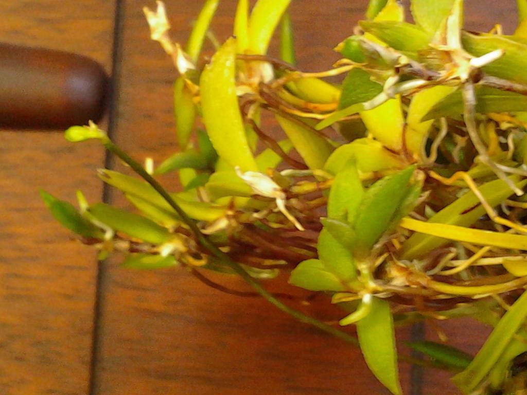 Tolumnia sylvestris - the good news ...-img_20130622_132657-jpg