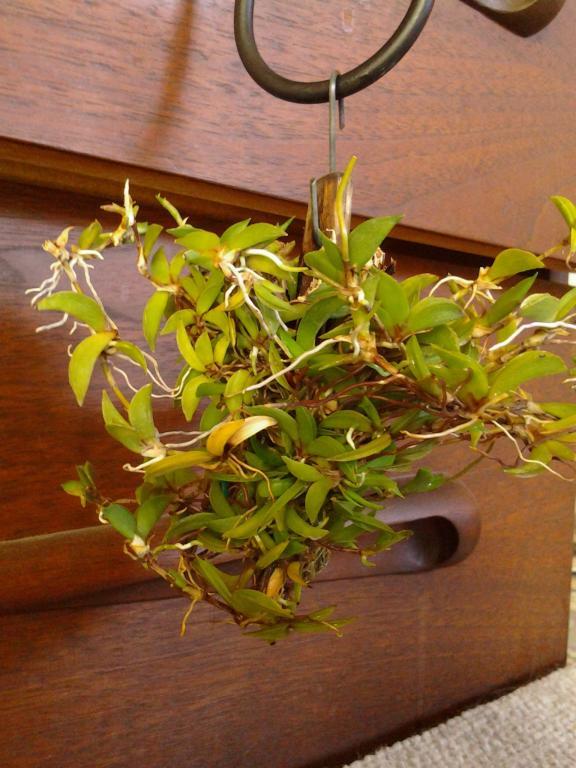 Tolumnia sylvestris - the good news ...-img_20130622_133437-jpg