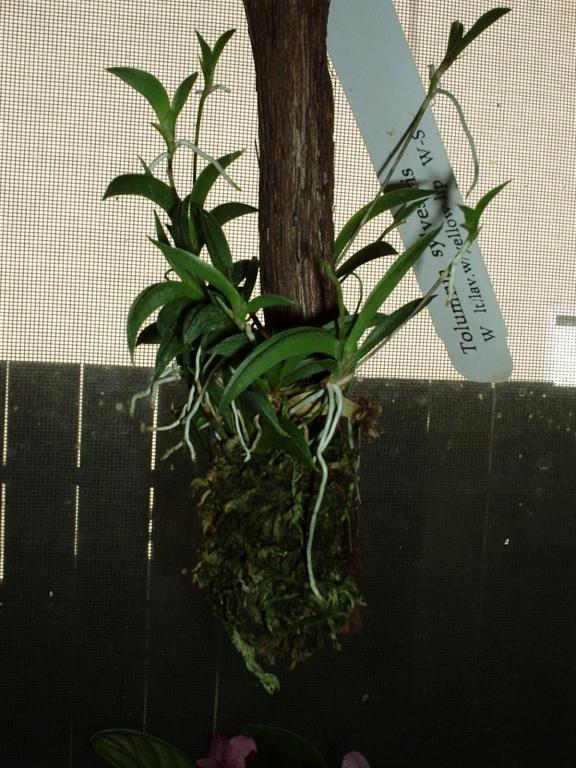 Tolumnia sylvestris - the good news ...-001-jpg