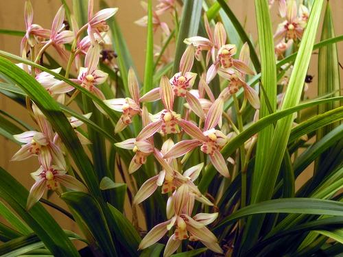 Cymbidium Ensifolium Orchid Cymbidium Ensifolium 005 Jpg