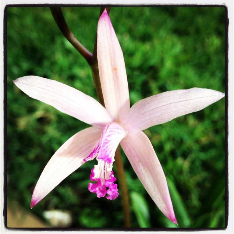 Laelia caulescens (syn crispilabia)-image-jpg