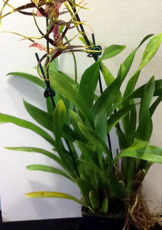 What orchid is this and how to take care of it?-photo-1-jpg