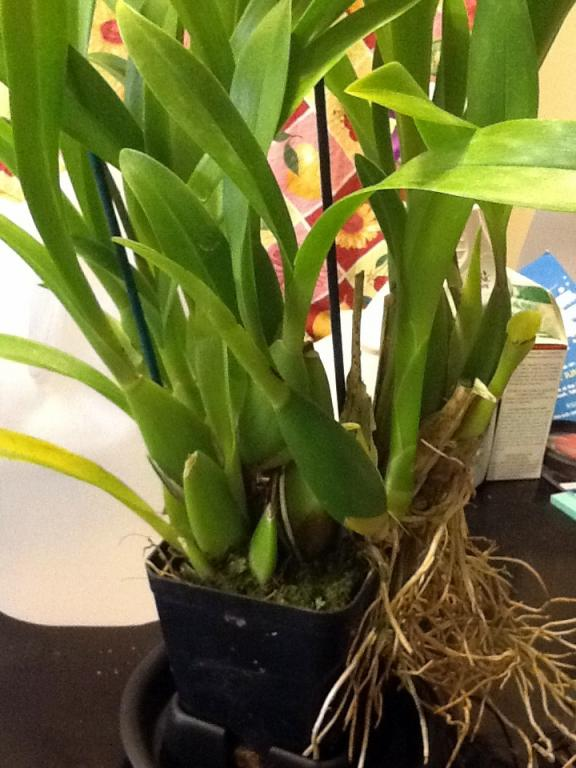 What orchid is this and how to take care of it?-photo-3-jpg