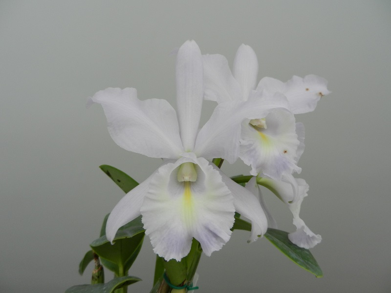 "Cattleya Sea Breeze ""Blue Ribbon"" & BLC Waianae Leopard ""Ching Hua""-dscn5867-jpg"