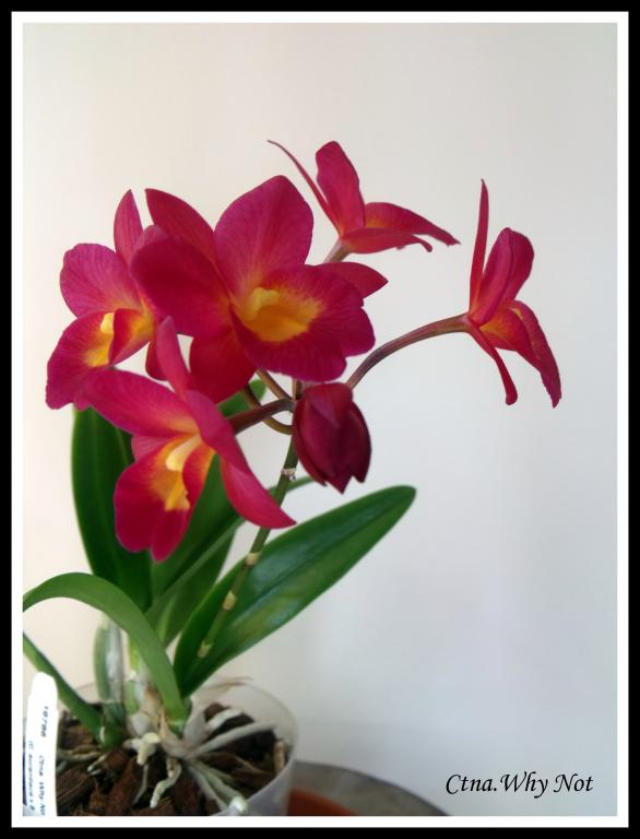 Ctna.Why Not in Bloom-ctna-jpg