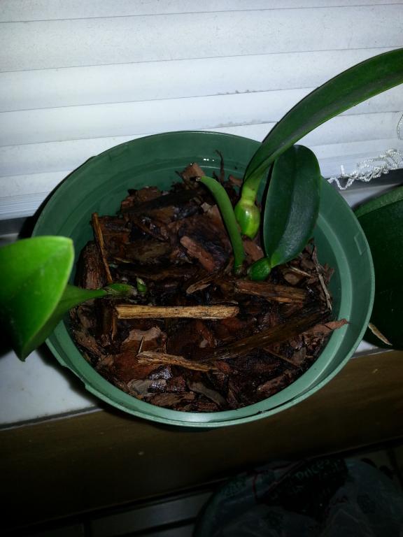 Very small cattleya orchids dry-20130708_224243-jpg