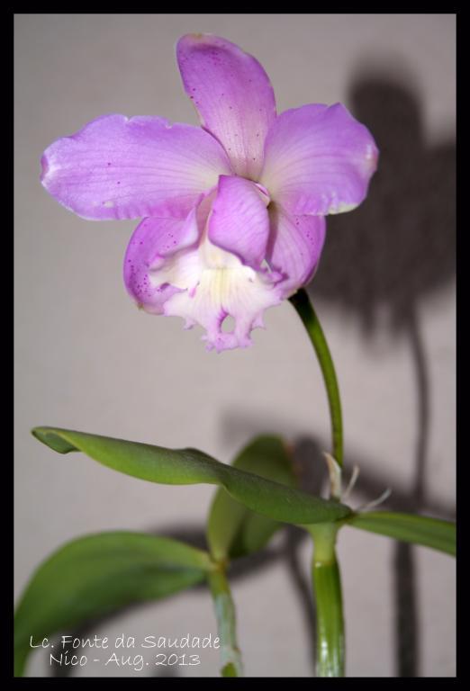 Lc. Fonte da Saudade - first bloom-lc-fonte-da-saudade2-jpg