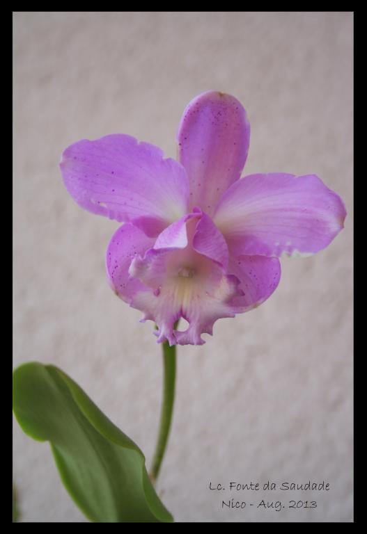 Lc. Fonte da Saudade - first bloom-lc-fonte-da-saudade1mod-jpg