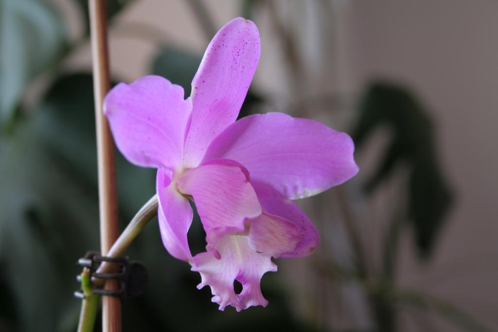 Lc. Fonte da Saudade - first bloom-img_8547-jpg