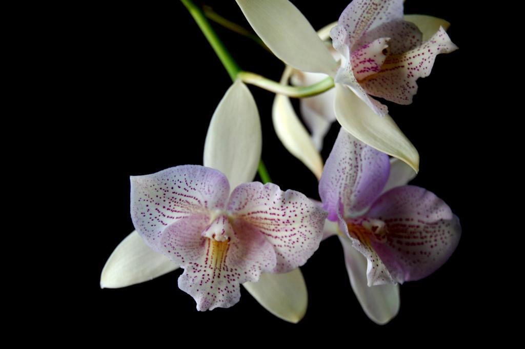 Caluocattleya Chantilly Lace 'Twinkle'-caulocattleya-chantilly-lace-twinkle-eldarado-splash-caularthron-bicornatum-06-olympic-jpg