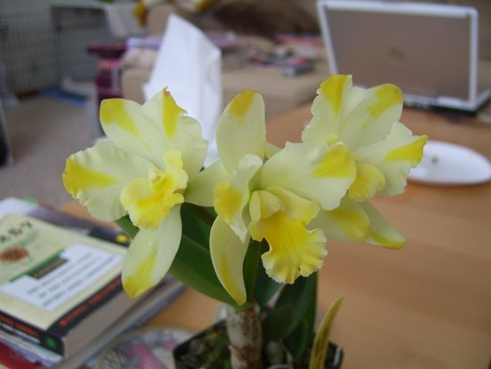 Grand Valley Orchid Society Show, Grand Rapids, MI, look what followed me home...-paradise-jpg