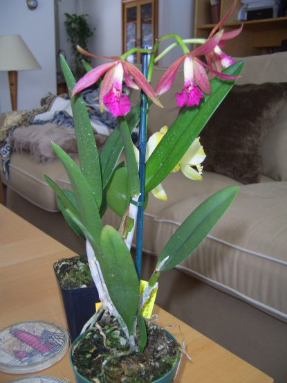 Grand Valley Orchid Society Show, Grand Rapids, MI, look what followed me home...-rustic-spots-jpg
