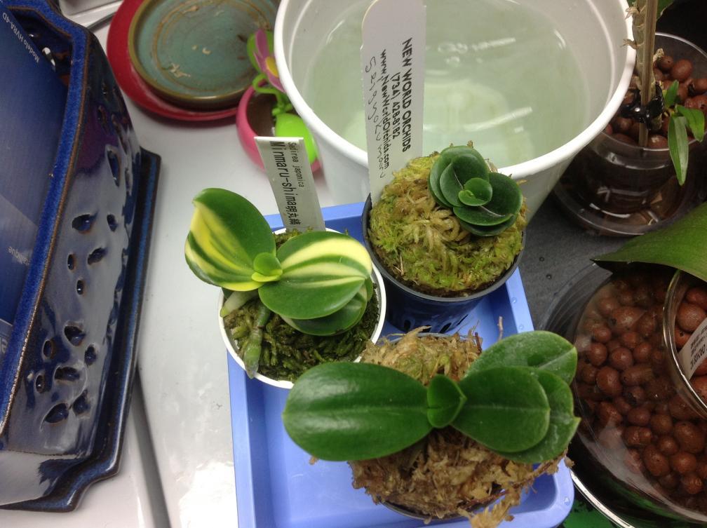 Sedirea japonica 3 varieties-image-jpg