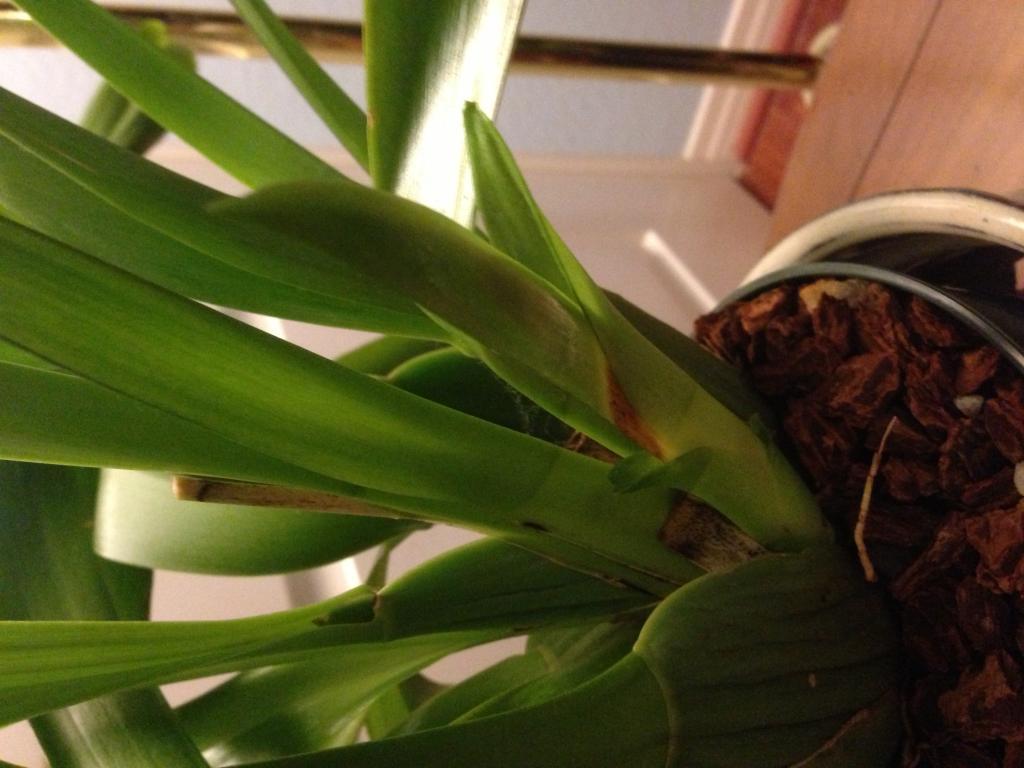 Oncidiums New Growth rot?-img_5176-jpg