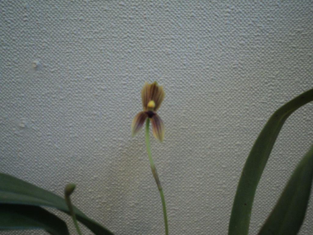 Mormolyca Ringens in bloom-mormolyca-1-jpg