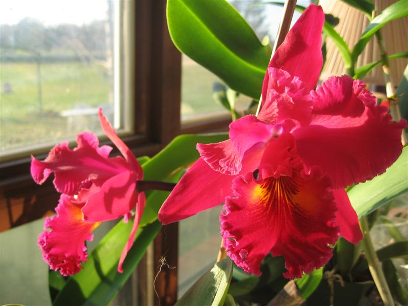 Blc. Sanyung Ruby 'Kuang Lung'-orchids-016-medium-jpg