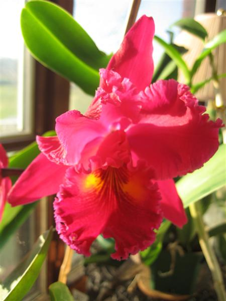 Blc. Sanyung Ruby 'Kuang Lung'-orchids-017-medium-jpg