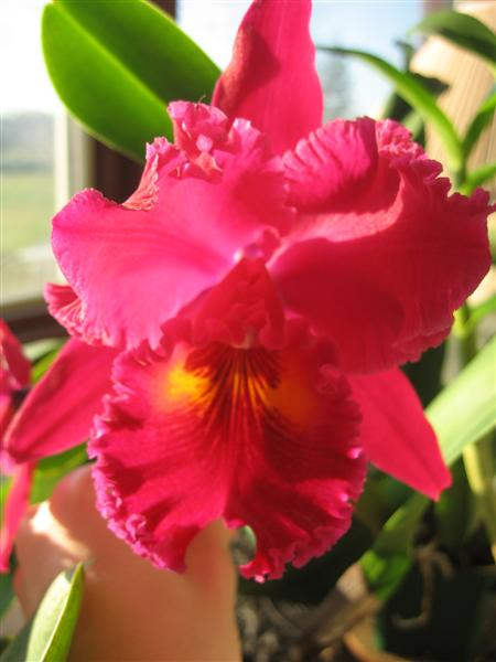 Blc. Sanyung Ruby 'Kuang Lung'-orchids-019-medium-jpg