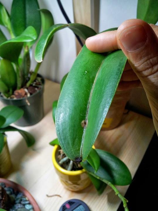 Small black/brown spots on Cattleya leaves?-20131011_140933-jpg