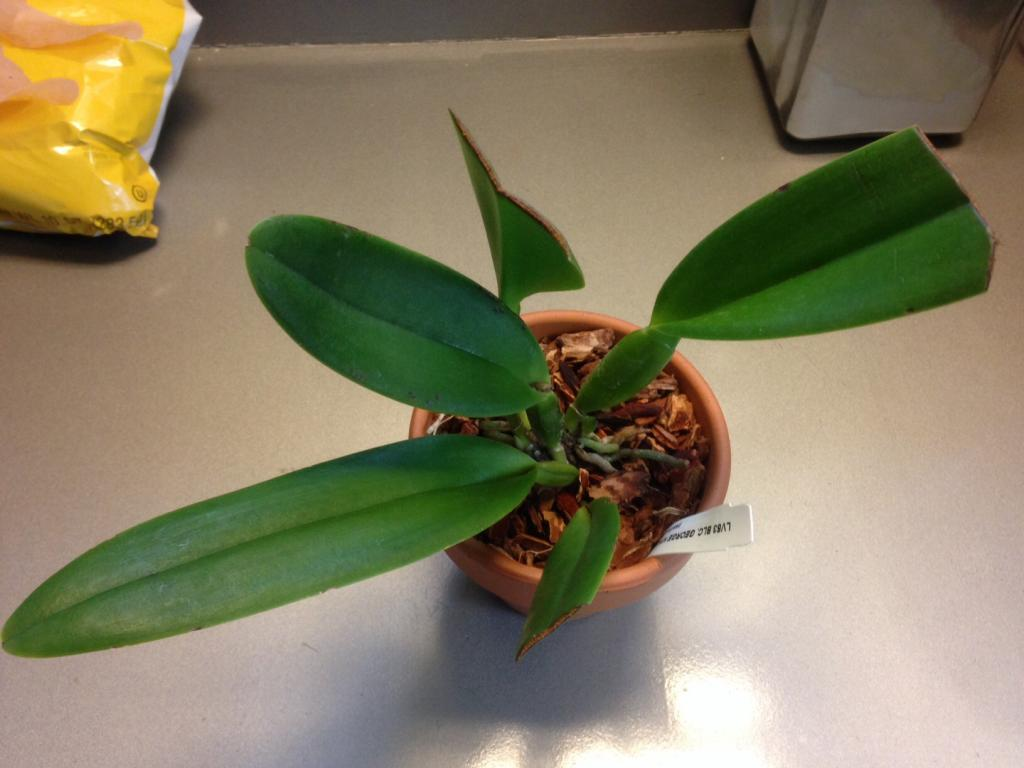 Cattleya leaf disease or damage-image-jpg