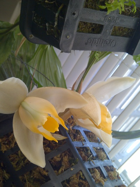 Stanhopea tricornis-664-jpg