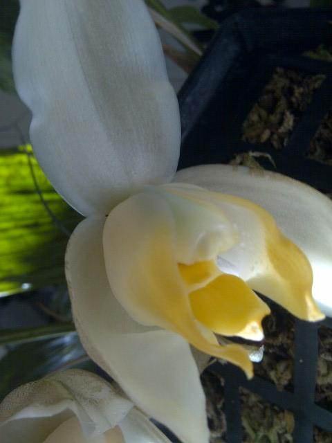 Stanhopea tricornis-667-jpg
