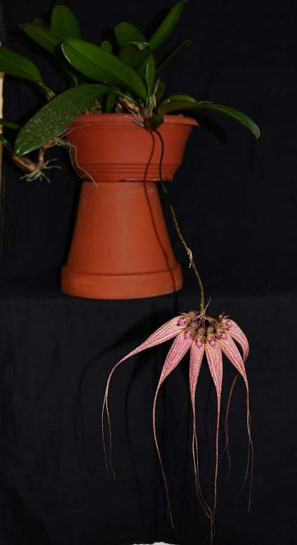 Bulb. Elizabeth Ann 'Buckleberry' and rothschildianum-bulb-buckleberrry-1-jpg