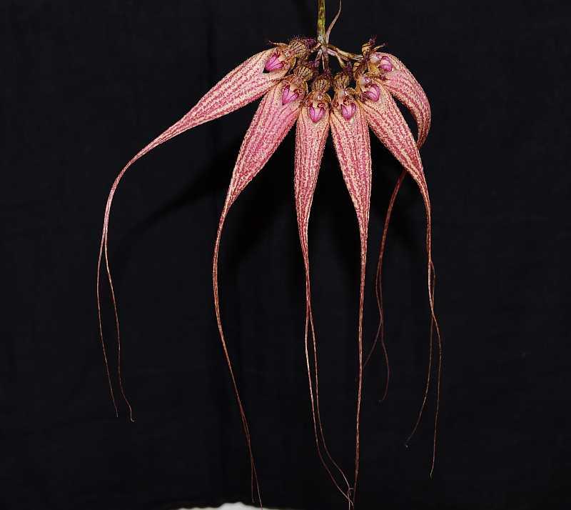 Bulb. Elizabeth Ann 'Buckleberry' and rothschildianum-bulb-buckleberrry-2-jpg