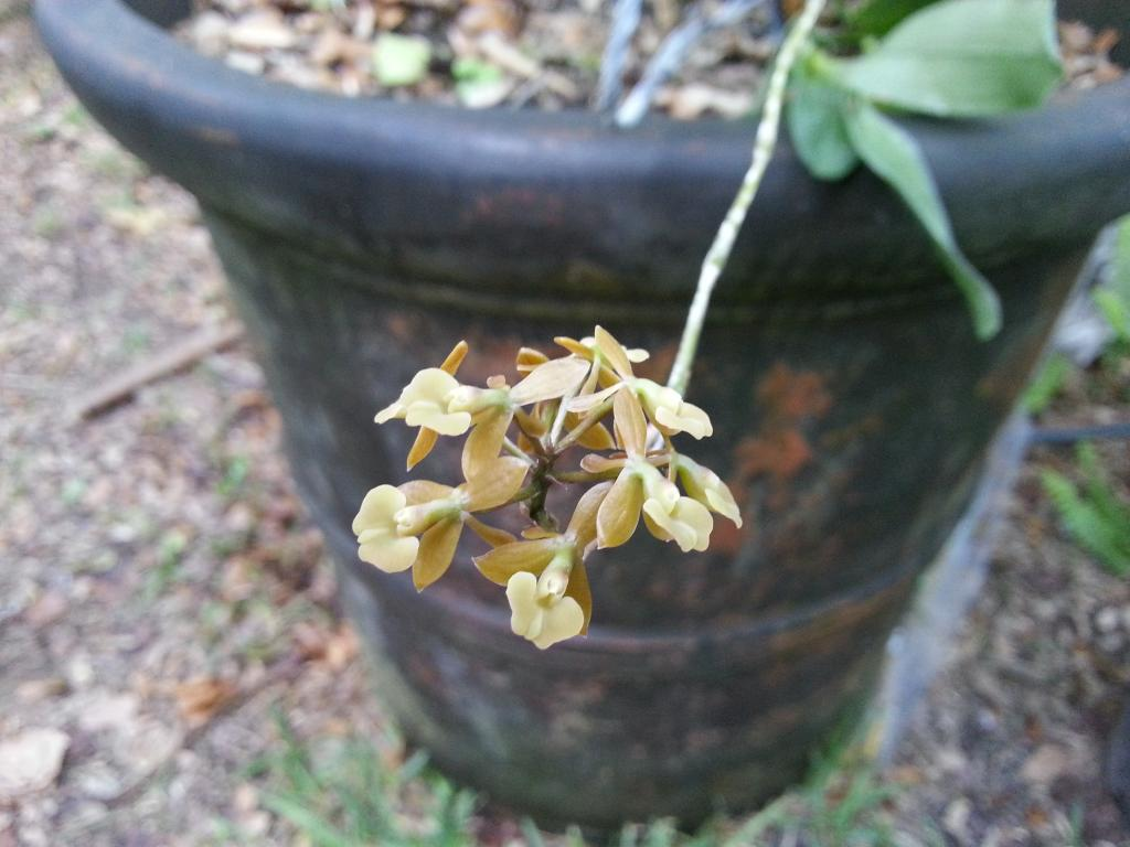 Epidendrum anceps Flowers on Old Tall Spike-epianceps1-jpg