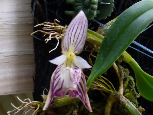 Bulb. Ambrosia-p1030685-jpg