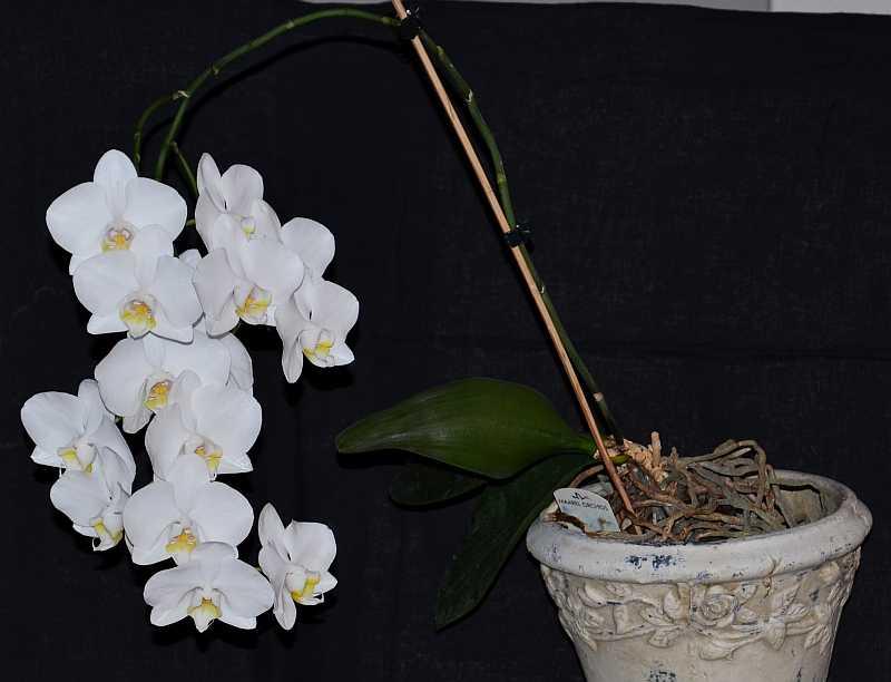 Phalaenopsis White Satin-phal-white-satin-1-jpg