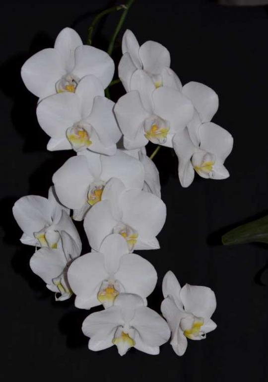 Phalaenopsis White Satin-phal-white-satin-2-jpg