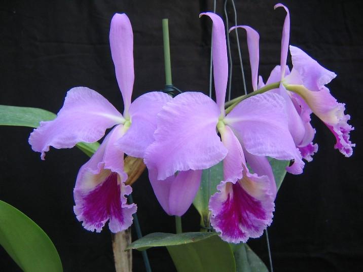 Cattleya jenmanii-jenmanii-img_5016-jpg