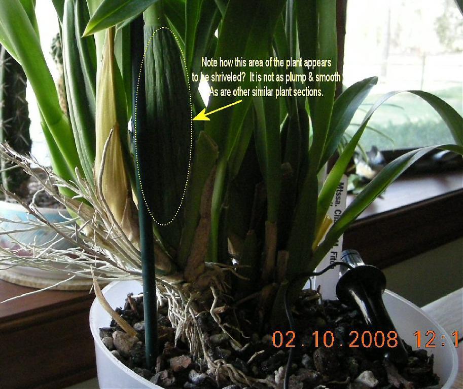 Mtssa. Charles M. Fitch 'Izumi' - watering-plantbase-jpg