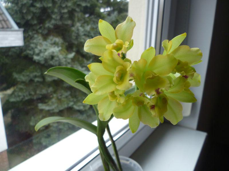 Slc Little fairy in bloom-p1050530_slc_lf-jpg