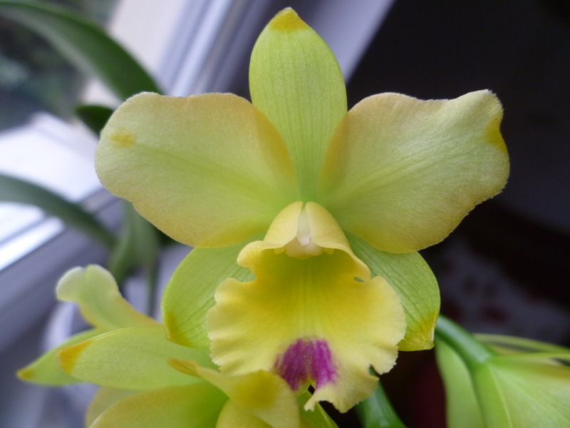 Slc Little fairy in bloom-p1050534_slc_lf-jpg