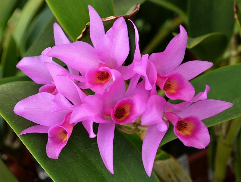 Guarianthe guatemalensis-guarianthe-guatemalensis-jpg