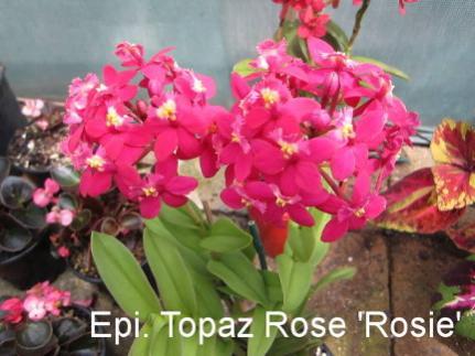 Dwarf Epidendrum hybrid seed?-epidendrum_topaz-rose_rosie-jpg