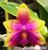 OrchidTess's Avatar