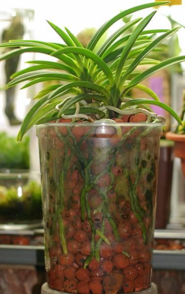 My Neofinetia Falcata In Semi Hydroponic Orchid Board