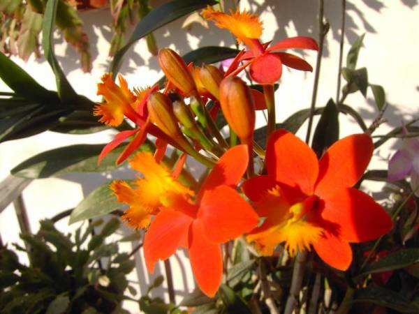 Epidendrum (NoID)