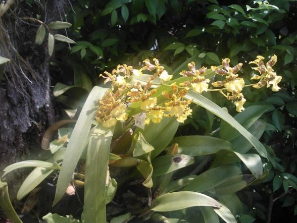 Ladies Dancing, Oncidium