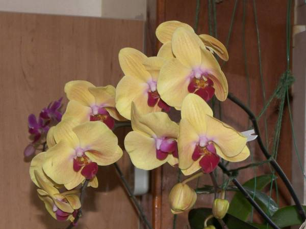 Phal. Shin Yuan 'Golden Beauty'